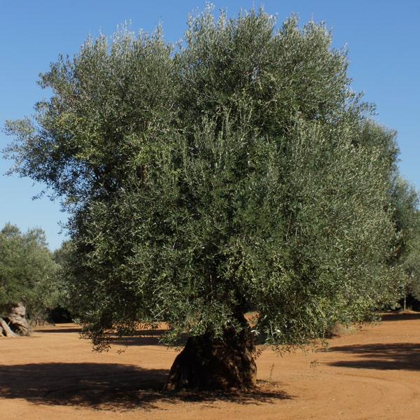 masseria appia traiana adotta un ulivo prodotto