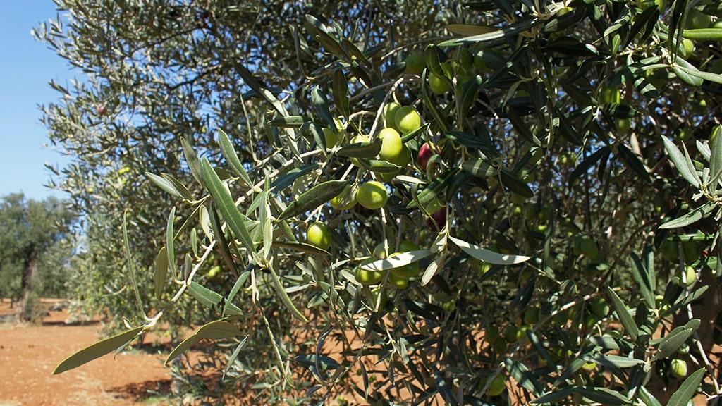 masseria-appia-traiana-olive