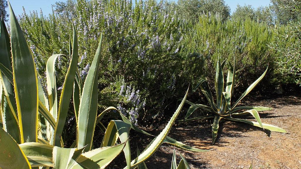 masseria-appia-traiana-ostuni-vegetazione